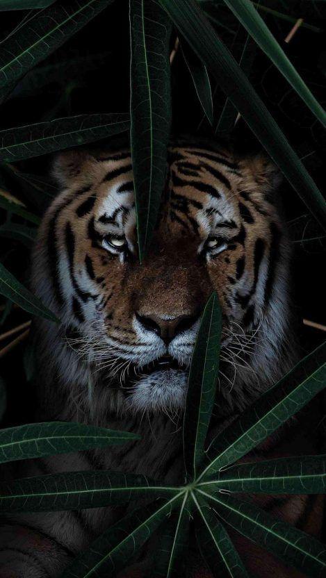 Iphone11 Iphone11pro 11promax Iphone6 6pluswallpaper Iphone6s 6spluswallpaper Iphone7 7pluswallpaper Iphon In 2020 Tiger Wallpaper Wild Tiger Iphone Wallpaper Cat