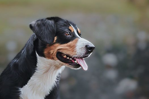 Appenzell Mountain Dogs For Sale Breed Group Herding Height 20 To 22 Inches Weight 49 To 71 Pounds Lif Dog Breeds Medium Dog Breeds Medium Dogs
