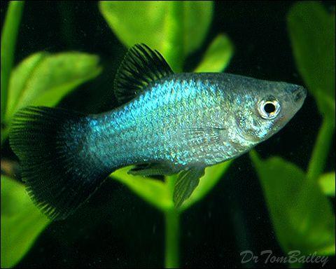 Metallic blue wing platy livebearers no guppy for Platy fish breeding