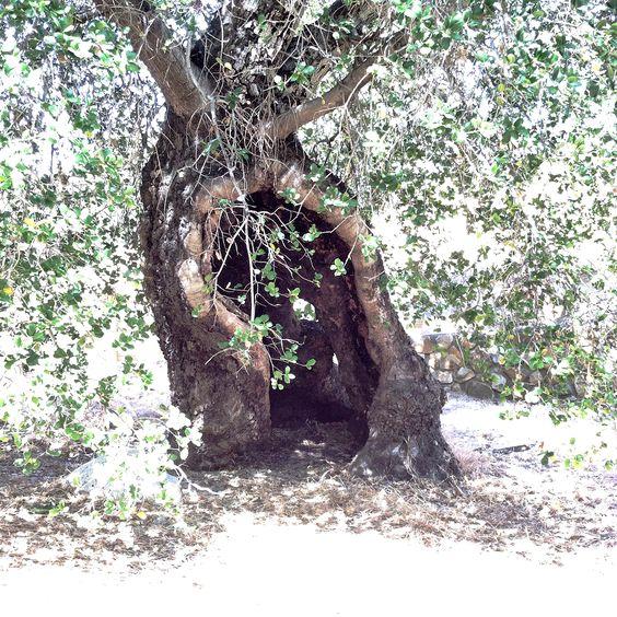 Oak of Golden Dreams in California