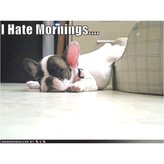 Ugh.... I Hate Mornings! Haha: Ugh, French Bulldog, Funny, Hate Mornings