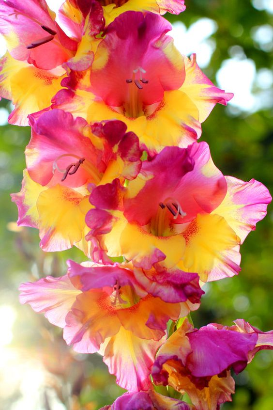 Beautiful Gladiolus Gardens | Beautiful Gladiolus at Sunrise Flower Garden by MermaidSightings