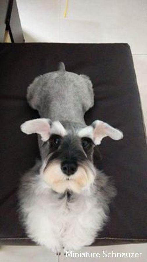 Miniature Schnauzer Long Hair Schnauzer Miniature Schnauzer Schnauzer Puppy