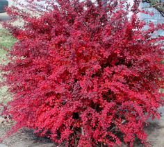 Red Leaf Barberry (Berberis thunbergii)