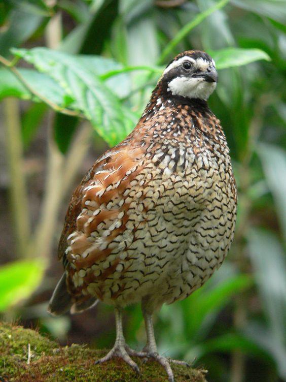 texas blue scale quail this little guy might make a good pet diversos pinterest schone vogel vogel und sua