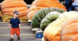 Little boy but big pumpkins
