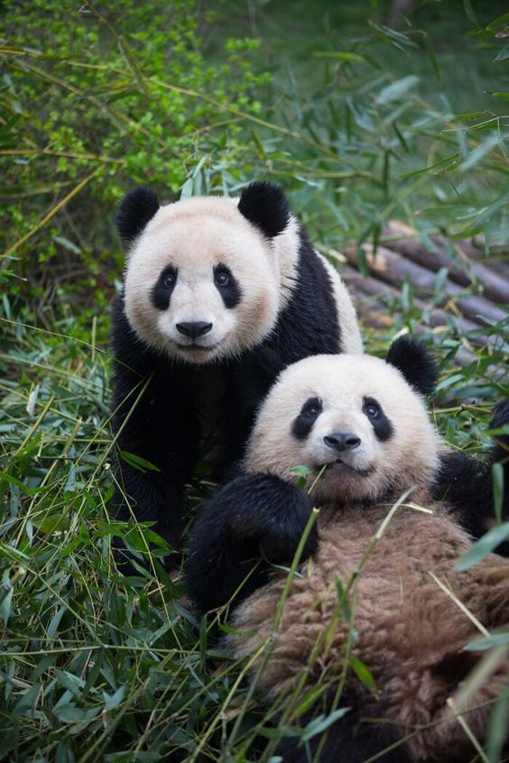 """""""I couldn't leave China without seeing the Chengdu Panda Base"""" —The First Lady: http://wh.gov/lpLQz #FLOTUSinChina pic.twitter.com/7pDM3JXYV7"""