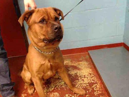 Atlanta Ga Rottweiler Meet Tuck A Dog For Adoption