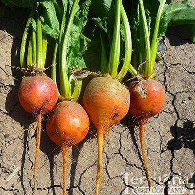 Territorial Seeds reminds us July is prime time for planting seed for late-season root crops - beets, carrots, parsley root, parsnips, rutabagas and turnips.