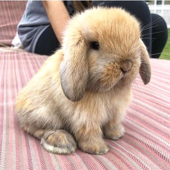 Rabbit Hm On Instagram Minilop Cuteness Doubletap Tag