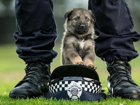 Three-week-old German shepherd puppies are the newest recruits to the Victoria Police Dog Squad, Australia.