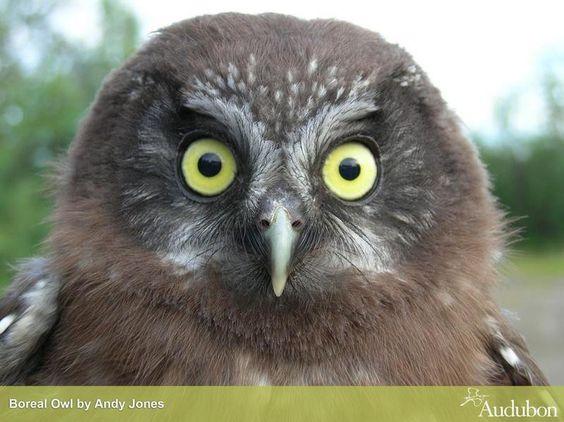 Audubon 4