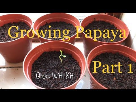 Growing Papaya From Seed Part 1 Uk Youtube With Images