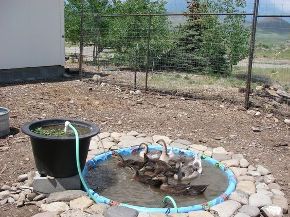 Backyard Chickens Duck Pond :  filtered duck pond  DUCKS!  Pinterest  Page 3, Pump and Pond ideas