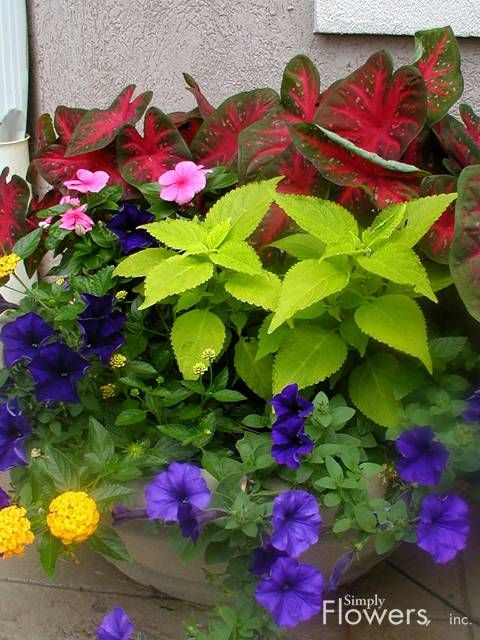 Part shade caladium coleus violet petunia lantana pink vinca mixed containers pinterest - Growing petunias pots balconies porches ...