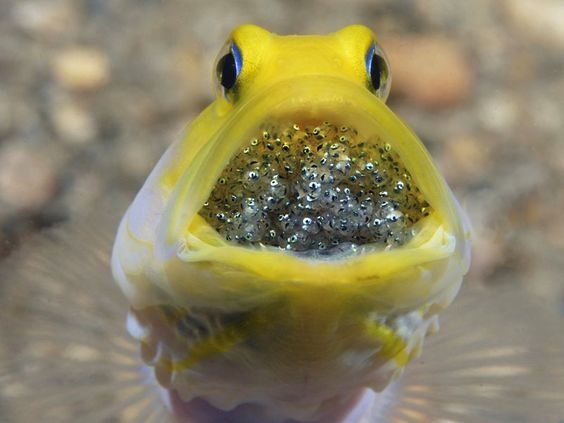 This is a yellow-headed jawfish male that incubates its eggs (or its brood) in its mouth. That's right–the male carries the babies. In the beginning, the jawfish is able to swallow the eggs, keeping them hidden, and occasionally spits them out to grab a bite, then sucks them back in, all in one gulp. It is fascinating to watch, and quite a challenge. The challenge gets tougher as the brood develops and gets larger. What was so sweet though was that after about an hour of observation with…