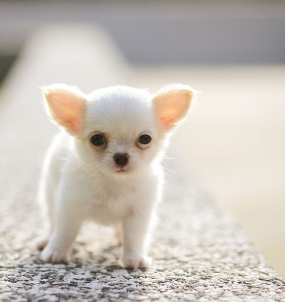 Where Can I Buy An Affordable Chihuahua Online?
