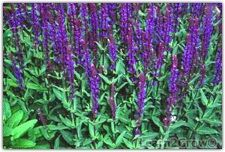 Salvia 'May night'