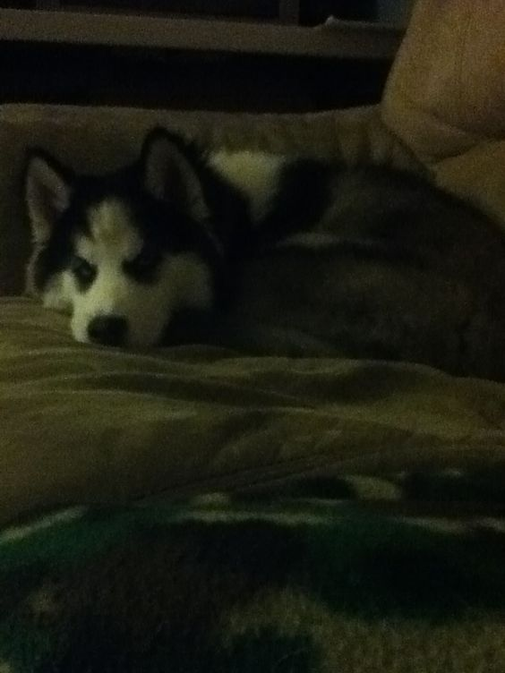 He is the cutest husky