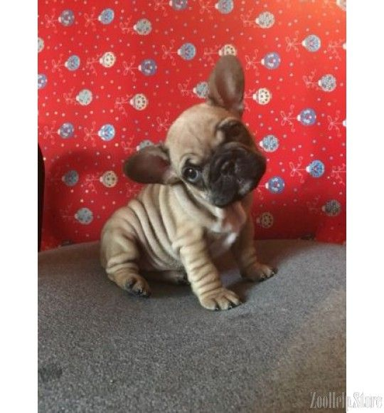 French Bulldog Buy Nyc French Bulldog Bulldog Cute French Bulldog