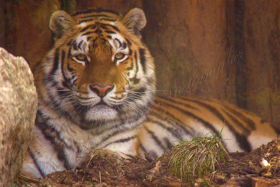 #tigre siberiana #parco #natura #viva