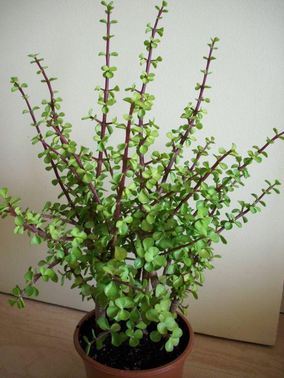 Les plantes grasses peuvent être de véritable petits arbres d'intérieur et apporter de la vie à un intérieur. Portulacaria Afra - Elephant tree- Dwarf jade