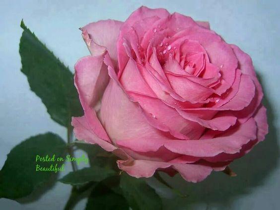 Lovely pink rose.