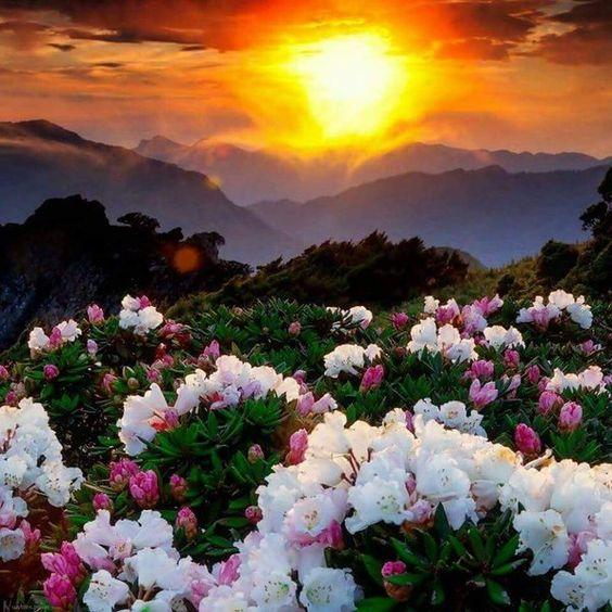 夕日と白い花が綺麗で美しい花畑