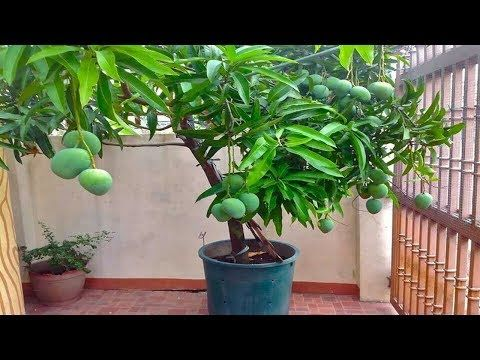 How To Grow Mango Plants Complete Guide In Pot And Ground Youtube Potted Trees Mango Plant Fruit Plants