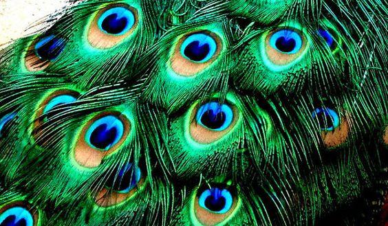 peacock frock