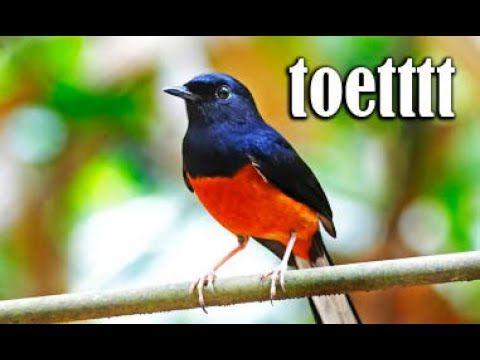 Gak Butuh Lama Murai Batu Langsung Respon Gacor Dengan Pancingan Mewah Ini Di 2020 Murai Burung Suara