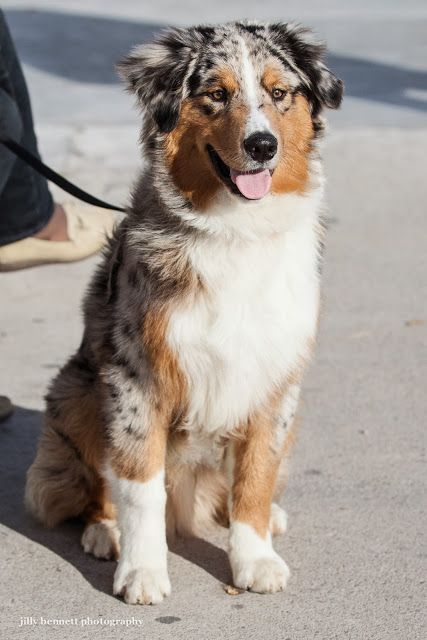 Shelly Roofe Shelly Roofe Saved To Humans Best Friends 10 Best Puppy Shots Of All Times The Pet S P Australian Shepherd Dogs Australian Shepherd Dogs