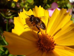 Healing properties of honey flower_and_bee.jpg