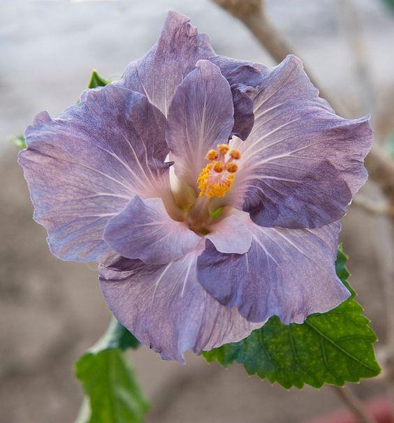 Hibiscus Blue Bayou