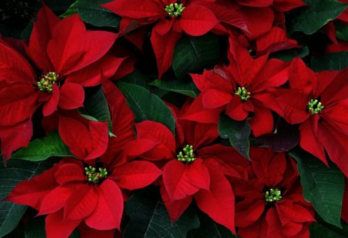 Pin By Christine A On Celebrating Christmas Flower Pot Design Red Christmas Flower Christmas Flowers
