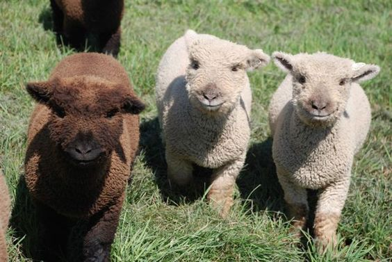 There are so many cats on here that we forget about newborn alpacas