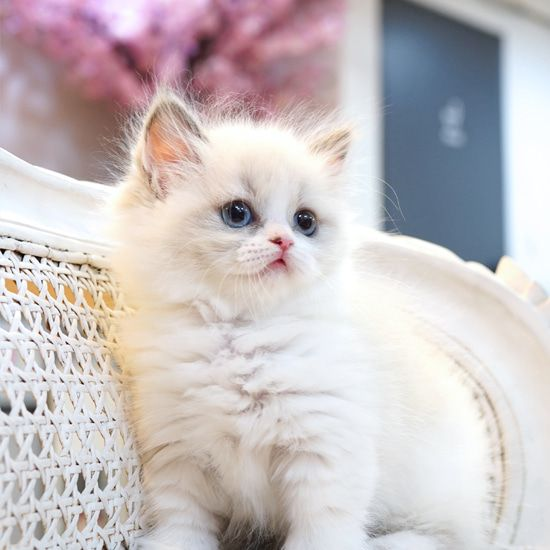 Silver White Kitten