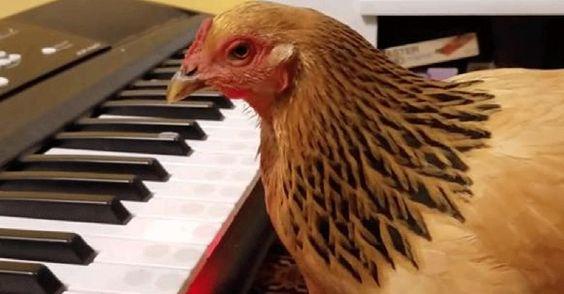 Já viu porcos a andar de bicleta? E galinhas a tocar num orgão? Então veja o vídeo.