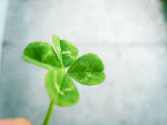 find a four leaf clover