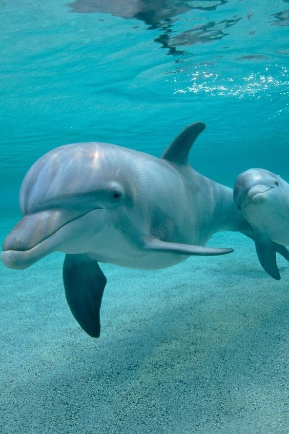 Bottlenose dolphin - they look like they are smiling...
