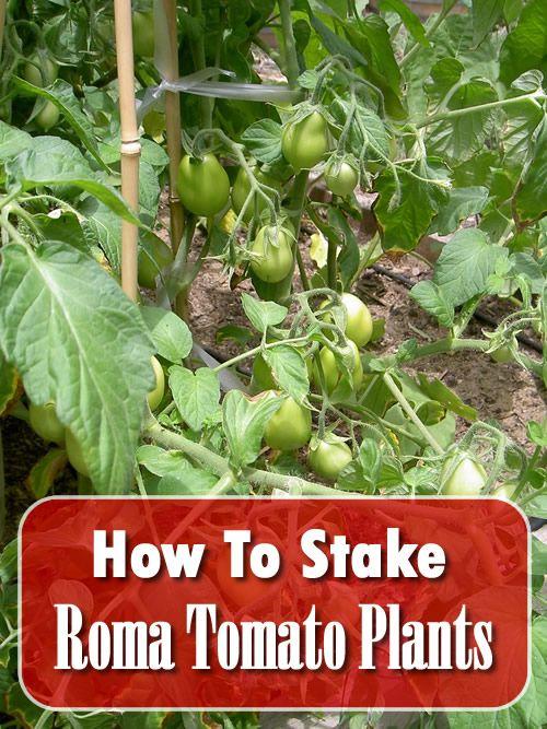How To Stake Roma Tomato Plants Tomato Plants Roma Tomatoes