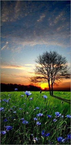 Sunset, Blue Flowers: