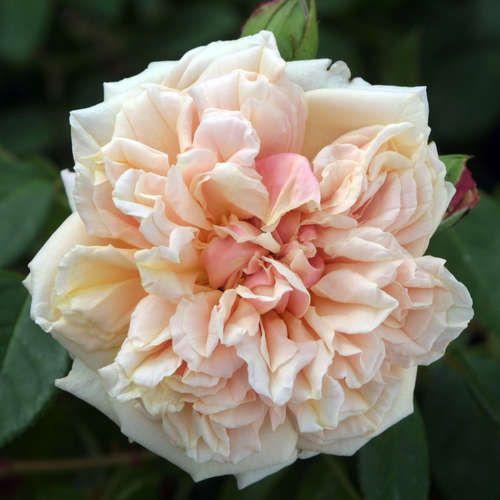 Historische Kletterrose - Rose 'Gloire de Dijon'