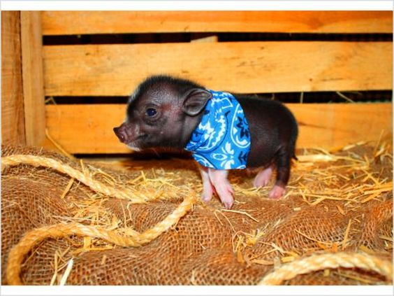 Teacup Pigs ~ Micro Piggies ~ Nano ~Mini Pigs ~ Miniature Piglets ~ Pig - $575 - Montgomery, Alabama
