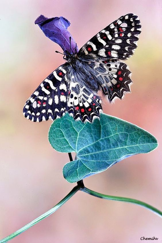Pretty butterfly , Zerinthia