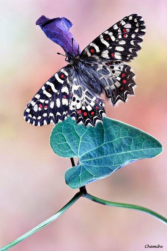 Pretty butterfly , Zerinthia