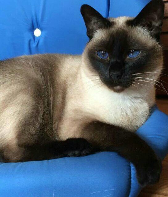 Siamese Seal Point | siamese | Pinterest | Cats, Seals and ...