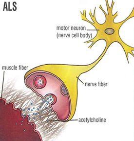 Motor Neuron Motors And Neurons On Pinterest