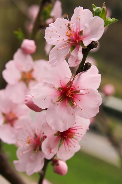 Free Image On Pixabay Apple Blossoms Flowers Pink Apple Flowers Apple Blossom Flower Apple Blossom Tattoos