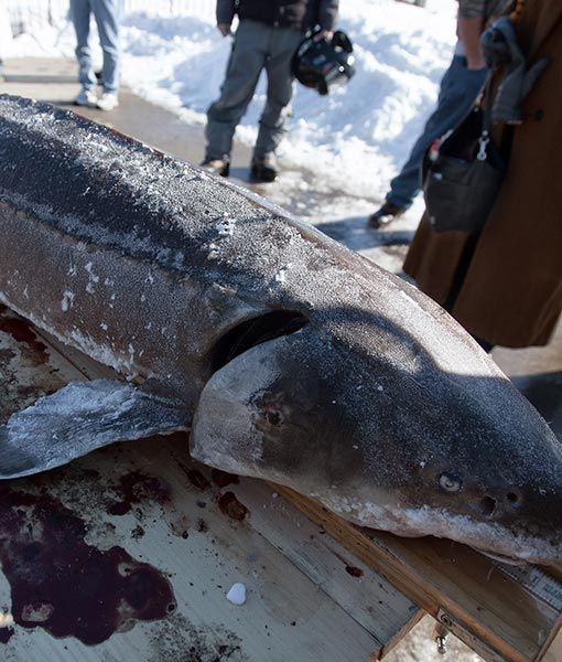 The sturgeon spearing season lasts a maximum of 16 days for Mail order fish